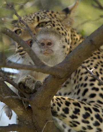 leopard_and_monkey.jpg